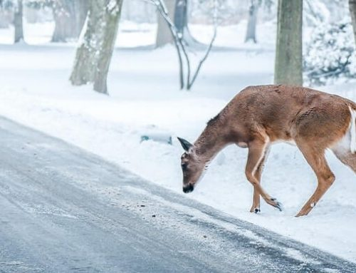 7 Steps To Take After A Deer Collision